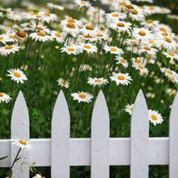 daisyies